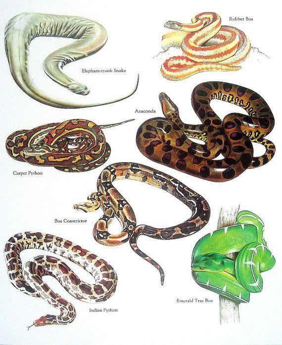 Snakes - Rubber Boa, Anaconda, Carpet Python, Boa ...