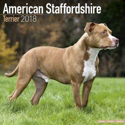 American Staffordshire Terrier Hundekalender 2021 By Avonside Staffordshire Terrier Hunderassen Terrier