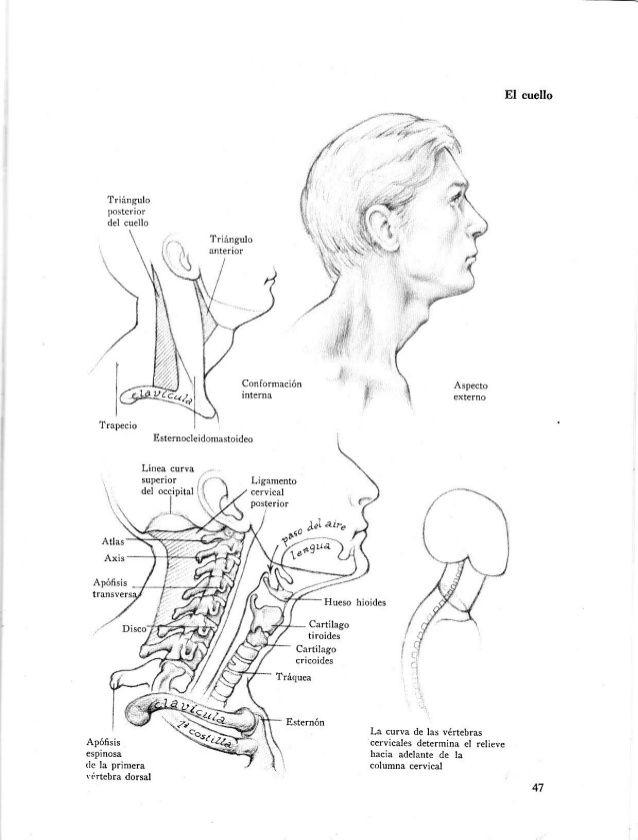 Anatomia-artistica-dibujo-anatomico-de-la-figura-humana   anatomia y ...