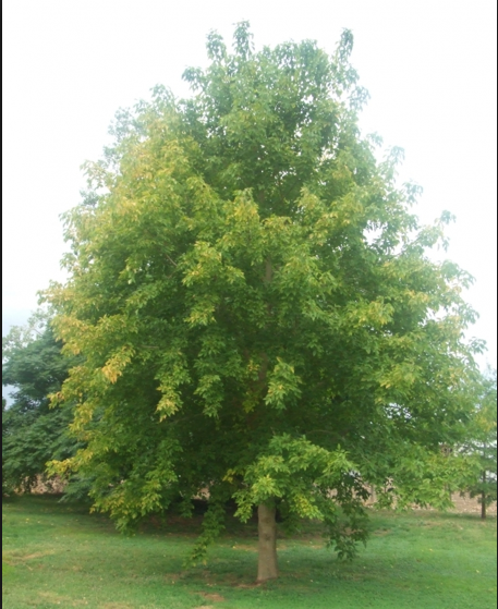 Acer Negundo Mas Diszfakkal Mutatos Kert Trees To Plant Shade