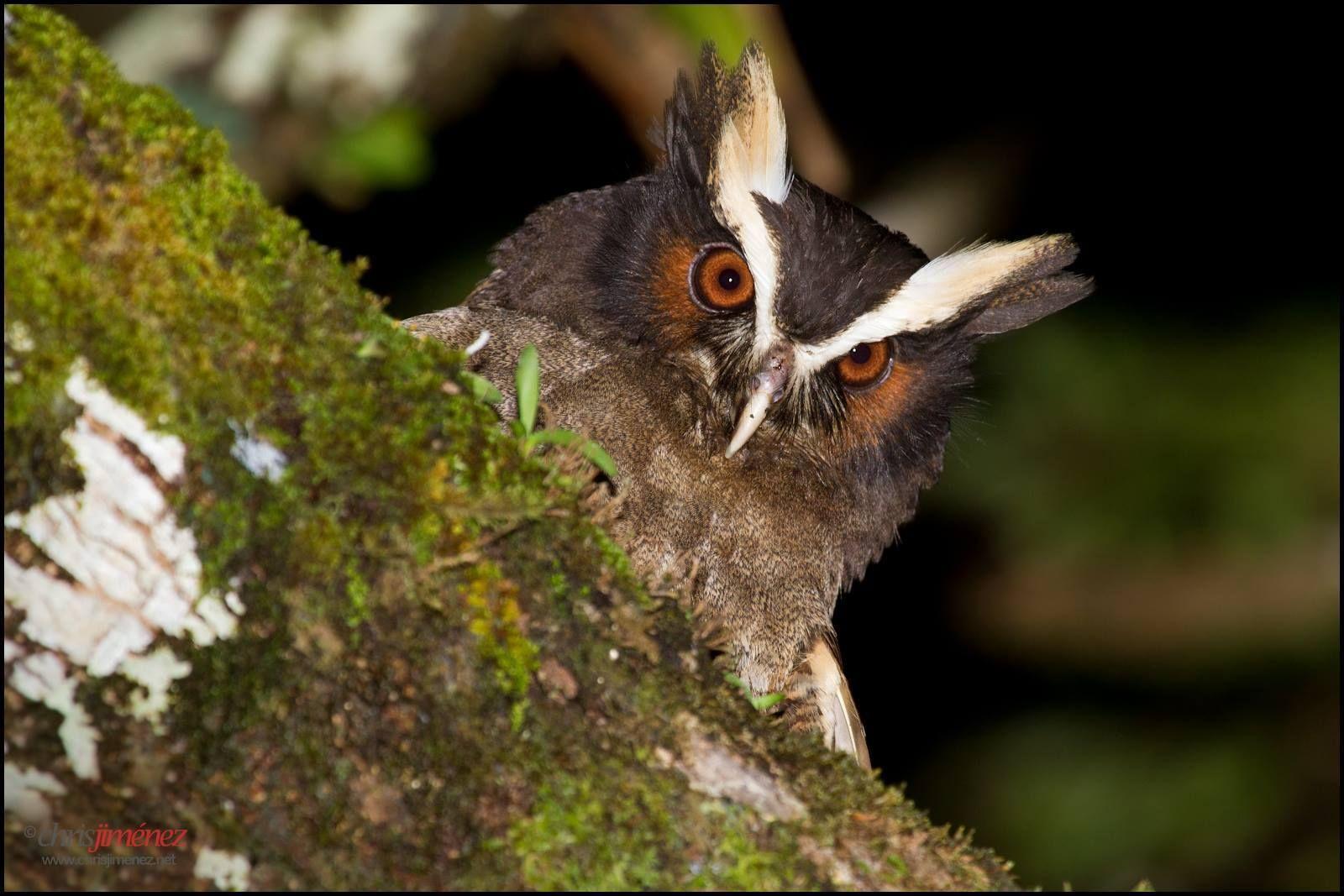 Crested Owl (Lophostrix cristata) by Chris Jimenez