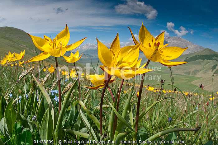 Yellow Tulip Tulipa Australis In Flower Above Piano Grande Sibillini Appennines Umbria Italy May 2011 Alpin In 2020 Yellow Tulips Planting Flowers Wild Flowers