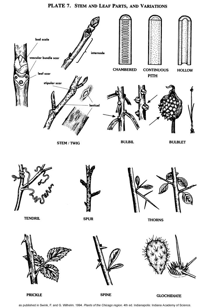 Plate 7: Stem and Leaf Parts, and Variations. | botany | Pinterest ...