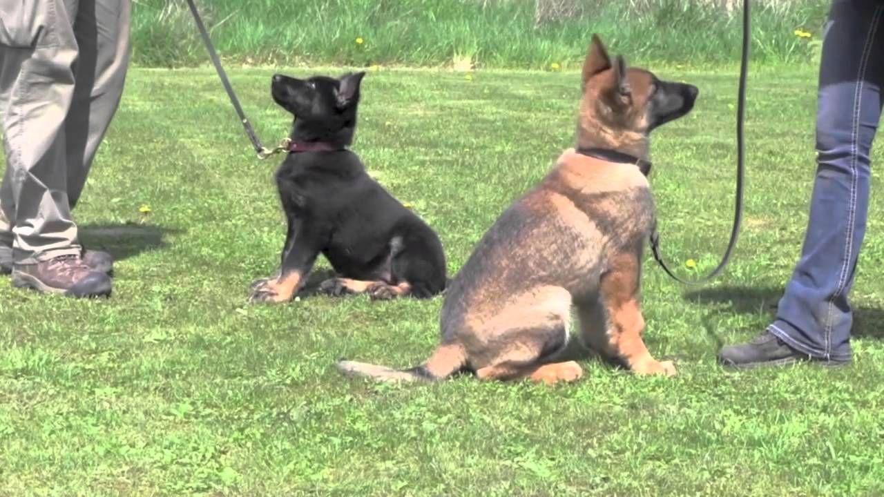 Kraftwerk K9 Training German Shepherd Puppies German Shepherd