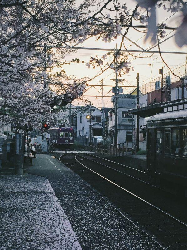 🌸🚃 #sakura #hanami #mankai #ryoanji #randen #kyoto #japan