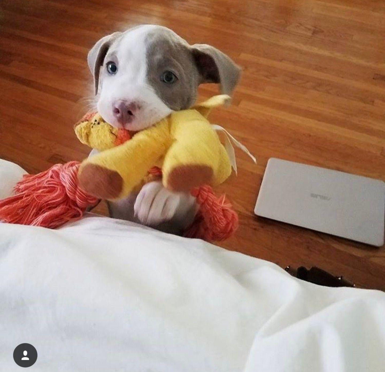 Resultado de imagen para pitbull y bebes