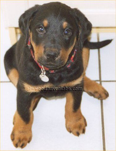 Everyone Knows Labs Come In Yellow Chocolate And Black Some Even Know That Labs Can Come In A Diluted Black Called S Labrador Retriever Lab Puppies Labrador