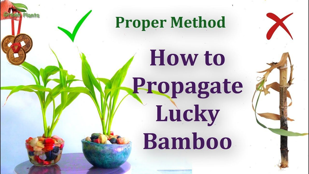 How To Propagate Lucky Bamboo Proper Method Green Plants With