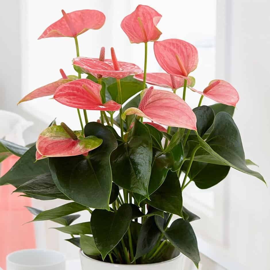 Facts You Need To Know About Flamingo Lily Morflora In 2020 Anthurium Plant Flowering House Plants Lily Plants