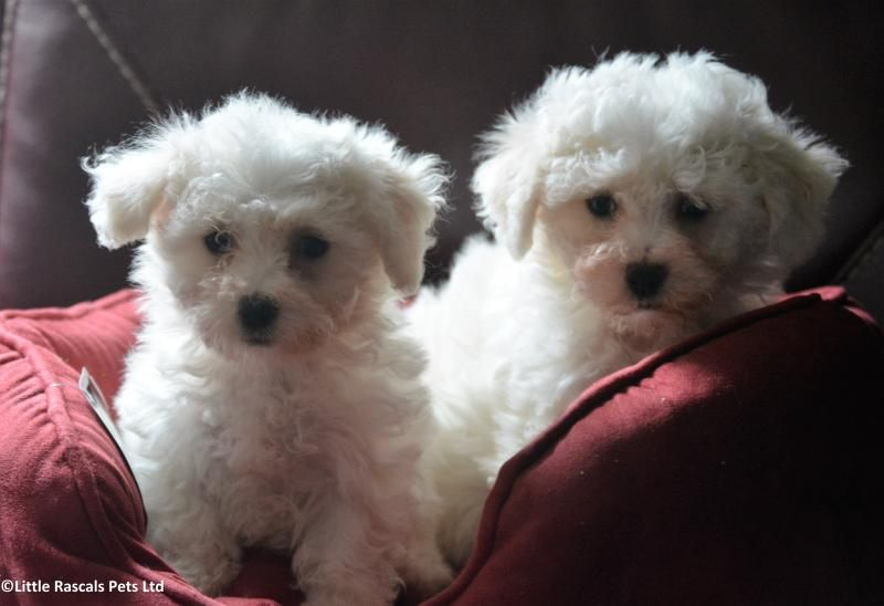 Stunning Poochon Bichon X Poodle Boys And Girls Designer And