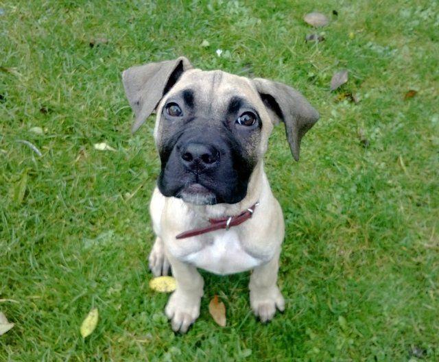 Boerboel South African Mastiff Puppies For Sale Mastiff Puppies Puppies Rottweiler Puppies