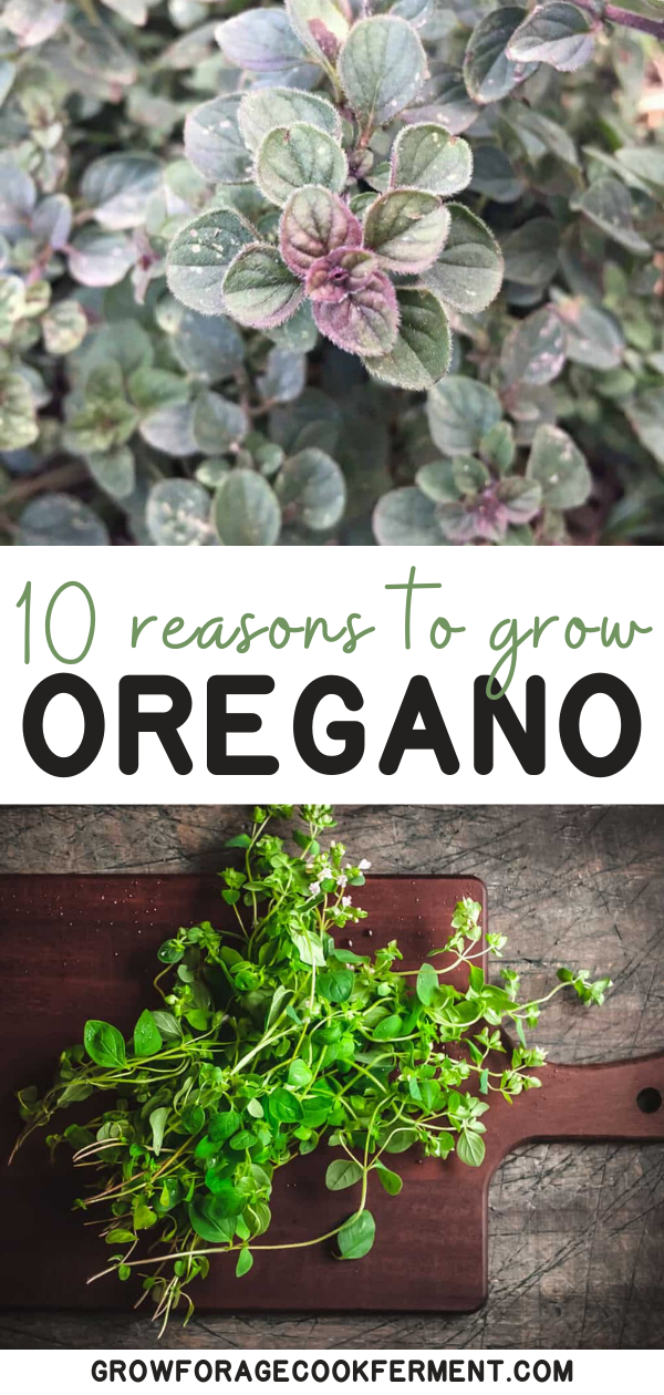 10 Reasons to Grow Oregano: a Highly Beneficial Herb