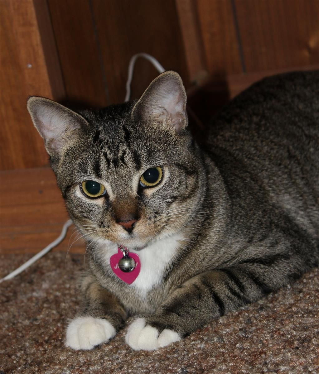 Lost Cat Domestic Short Hair Mississauga, ON, Canada
