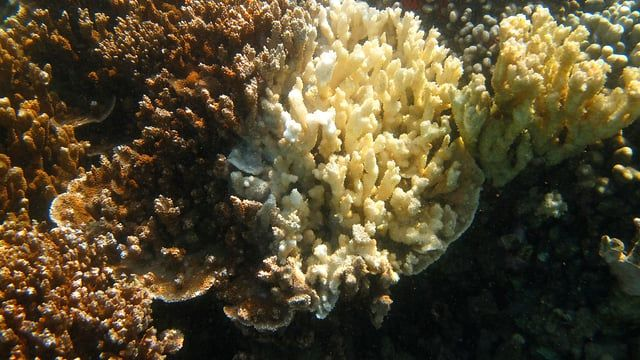 After the worst coral bleaching event ever recorded in Hawaii, the Hawaii Institute of Marine Biology at the University of Hawaii at Manoa is diligently monitoring and testing affected coral reefs in Kaneohe Bay.  http://www.hawaii.edu/news/2014/11/12/uh-on-the-forefront-of-coral-bleaching-research/