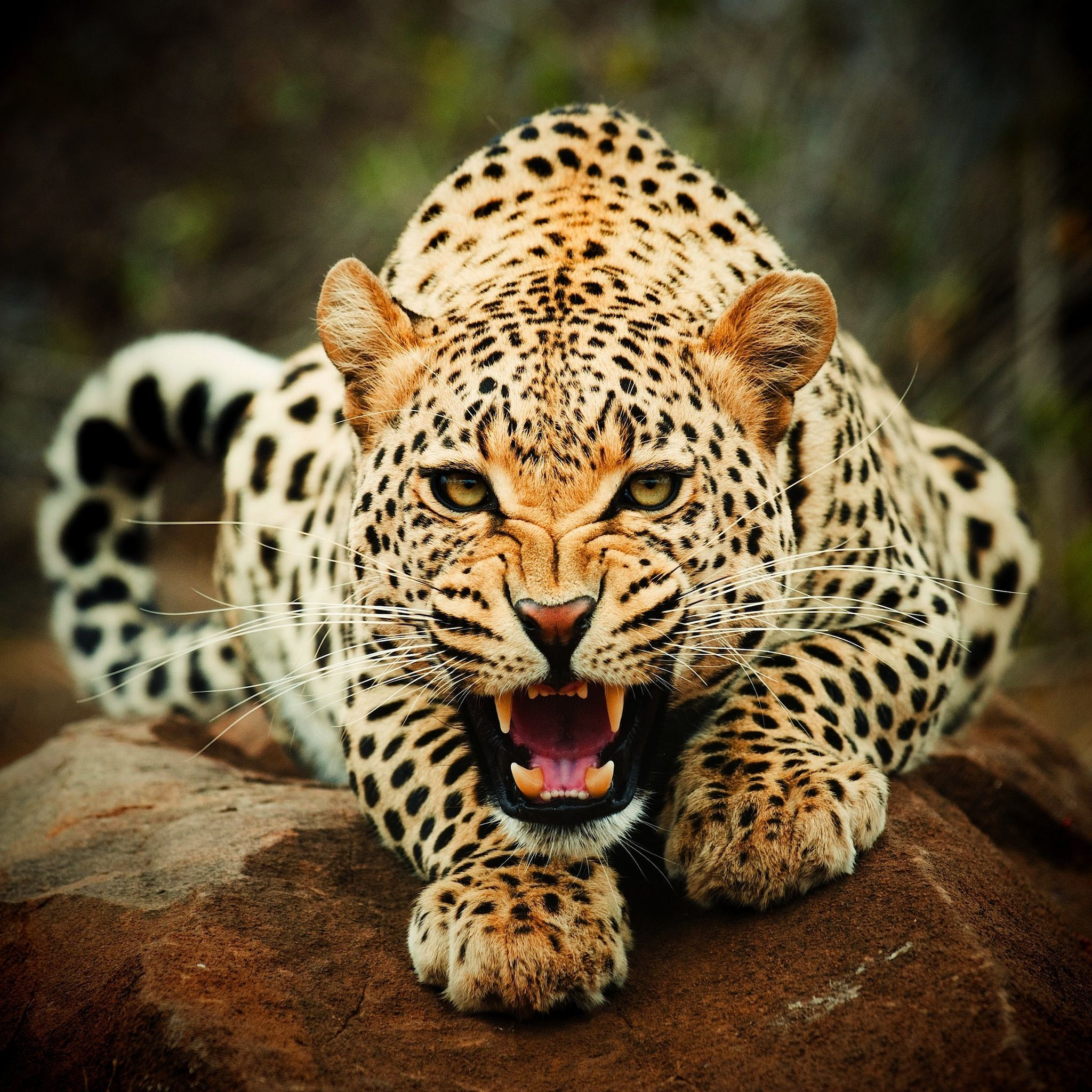 Ferocious Jaguar: Leopard- Ferocious! Soo Pretty.. Love All Types Of .. CATS