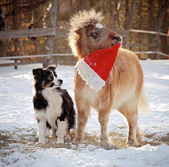 Australian Shepherd Miniature Pony Miniature Horse Horses And Dogs Australian Shepherd