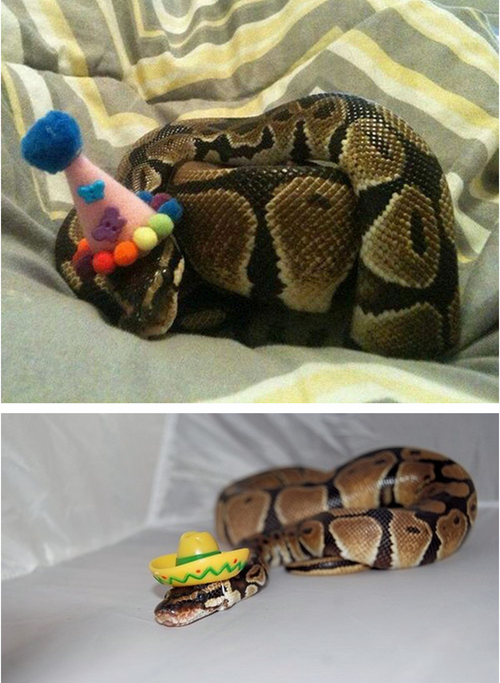 Snakes Can Be Cute and Cuddly Just Like Cats Right Am I