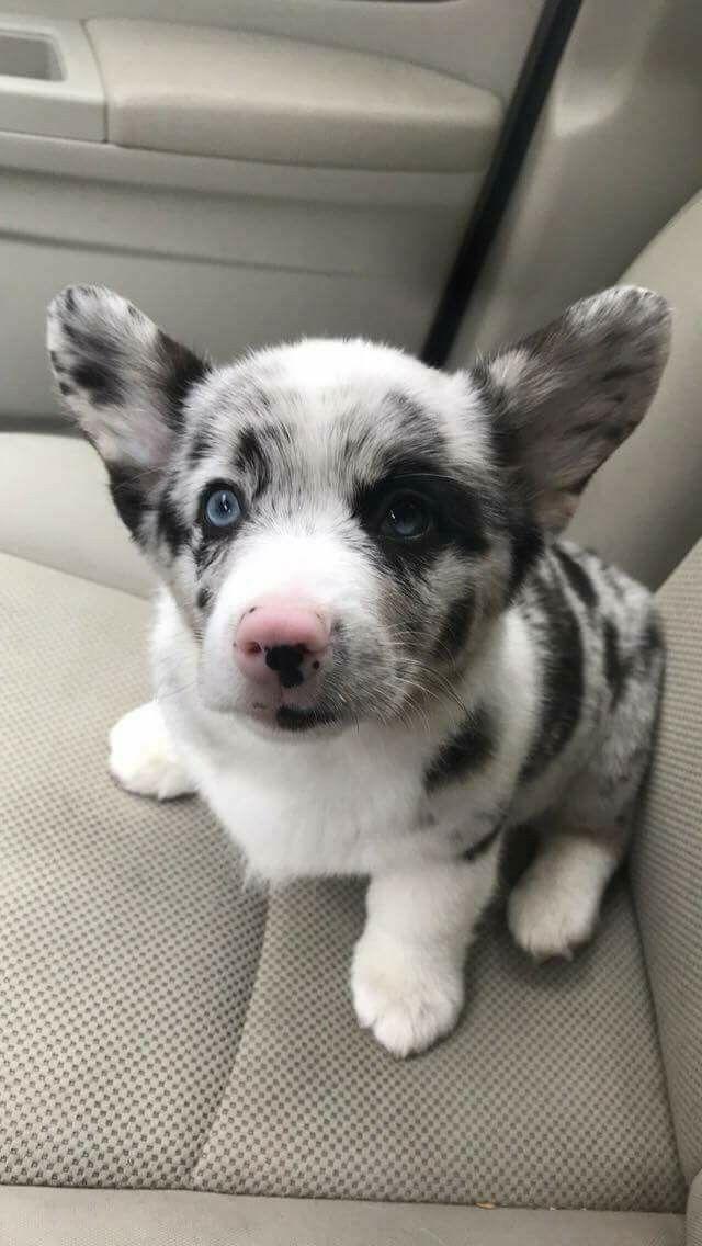What A Beautiful Little Doggie Animaletti Pelosi Cuccioli Di