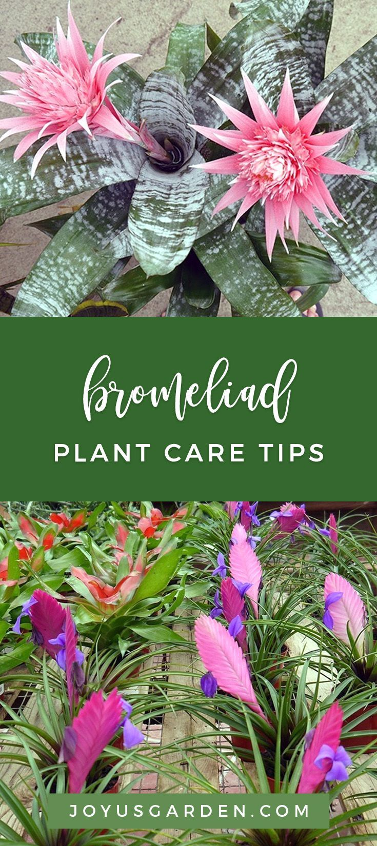 Bromeliads are tough, interesting and don't require much fuss. That's my kind of plant to have in a climate where gardening is a year-round activity. They're a very popular houseplant so I want to share with what I've learned over the years about caring for them indoors. #bromeliad #plant #planting #plantingtips #gardening #gardeningtips #garden #gardener #beginnergardener #beginnergardening #howtogarden