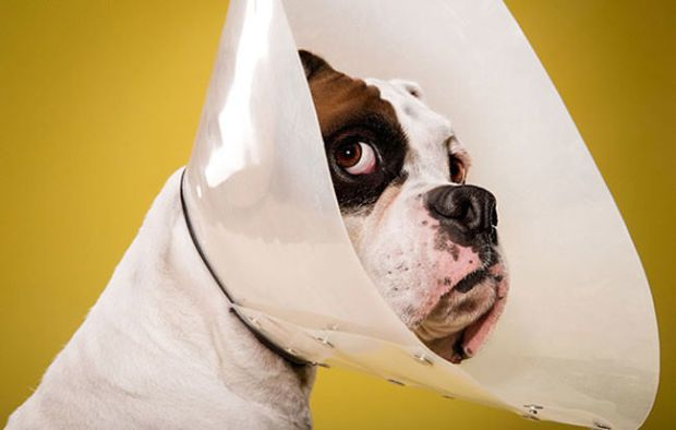 Adorable Portrait Photos Show Just How Much Dogs Hate Wearing The - Dog portrait photography shows how they hate wearing the cone of shame