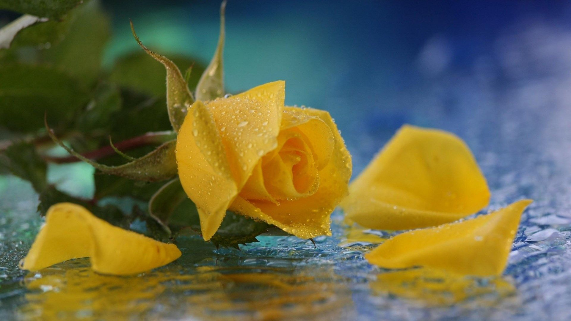Hd Wallpapers 1080p Yellow Rose Backgrounds Yellow Roses Yellow Rose Petals Flowers