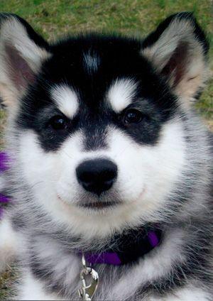 Free Alaskan Malamute Puppies Bing Images Malamute Husky