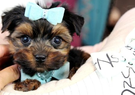 Teacup Yorkie puppies for sale! We ship, very safe and finance, 90