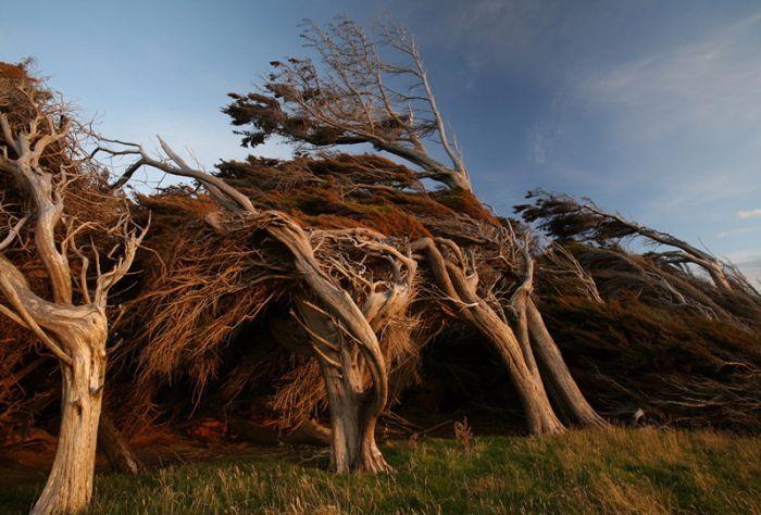Bomen Vervormd Door Hevige Wind Vanaf Antartica Boom Fotografie Groen