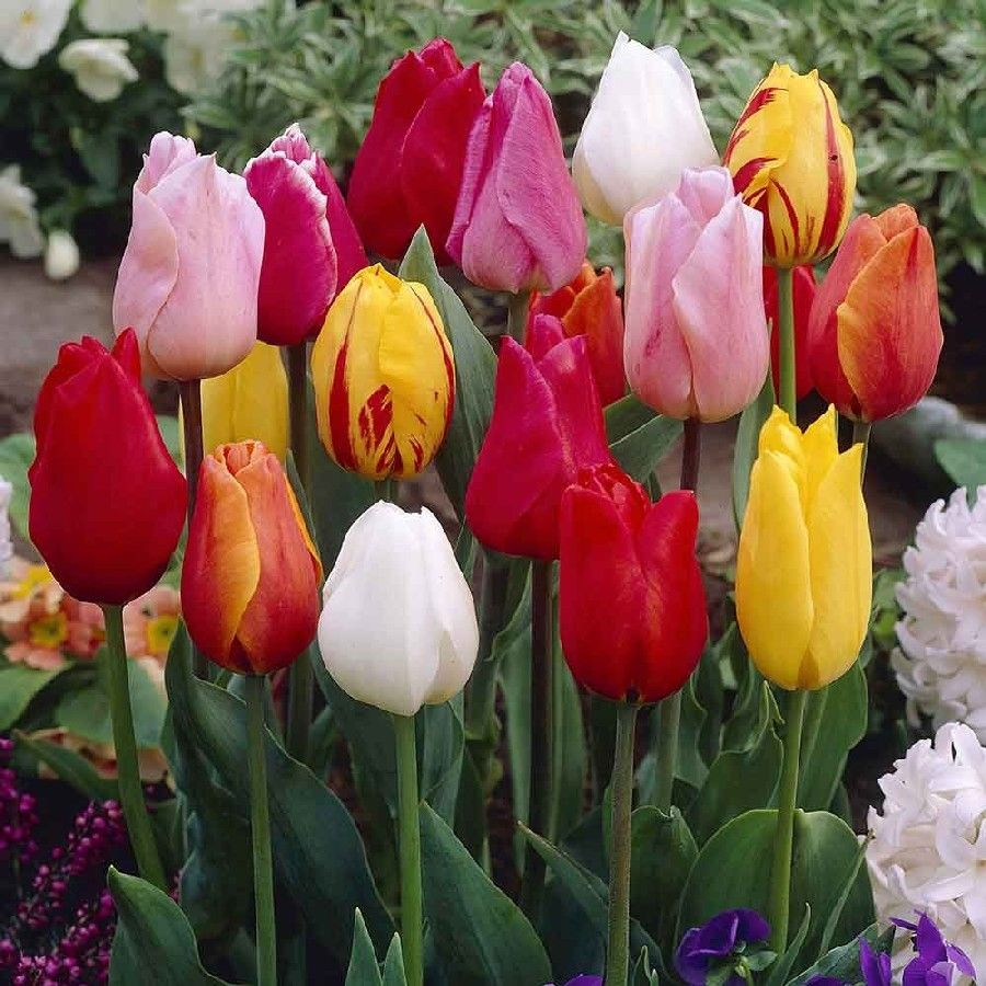 Single Early Mix Tulip Bulbs Buy Tulip Bulbs On Sale At Edenbrothers Com Tulip Bulbs Bulb Flowers Types Of Tulips