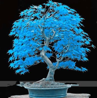 Very Rare American Blue Maple Bonsai Tree 20 Seeds Pack Rare Japanese Tree Diy Indoor Bonsai Tree Maple Bonsai Japanese Tree