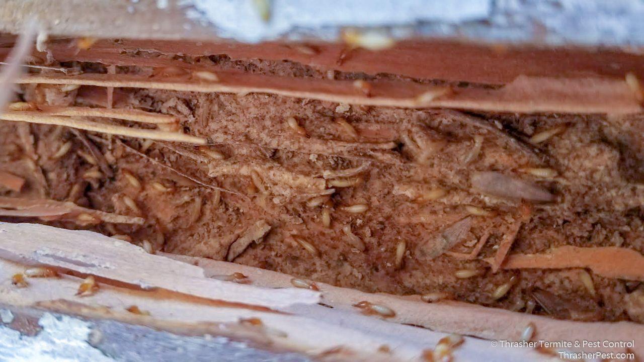 Formosan Subterranean Termite Gallery La Mesa Termite Control Termites Formosan