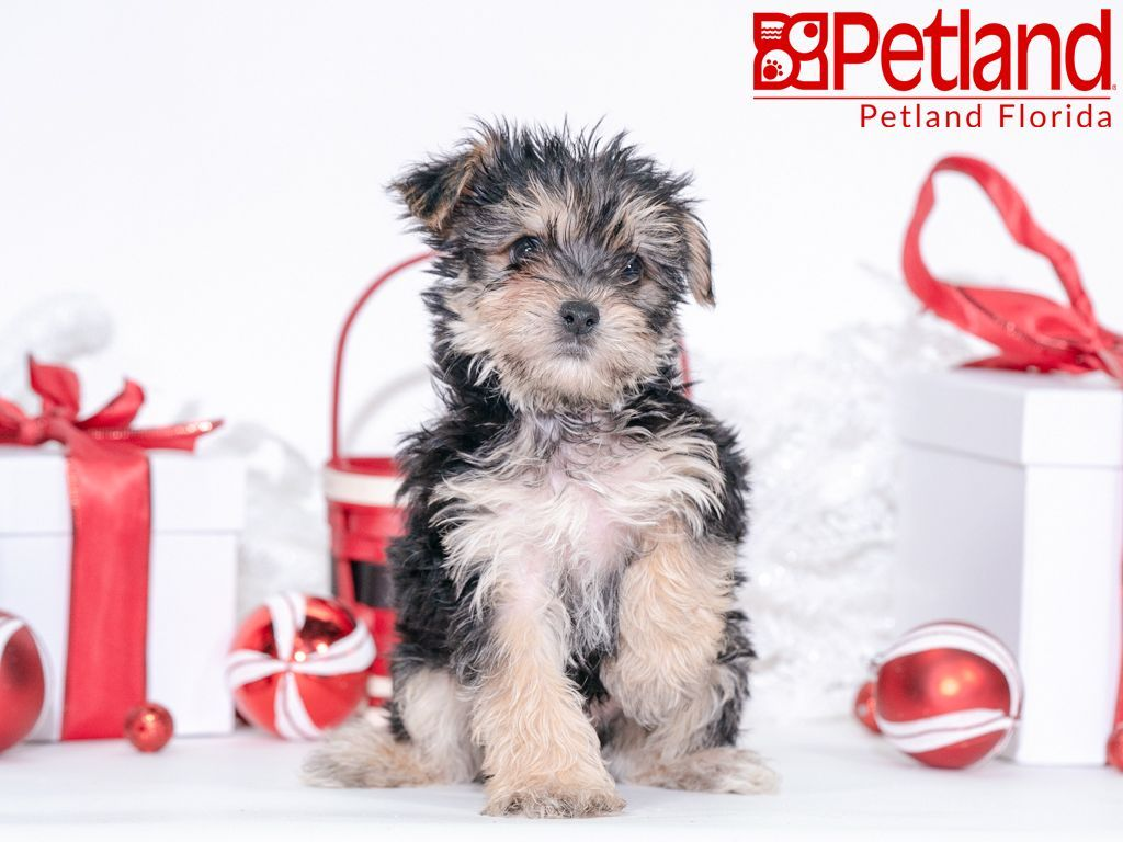 Petland Florida has Morkie puppies for sale! Check out all