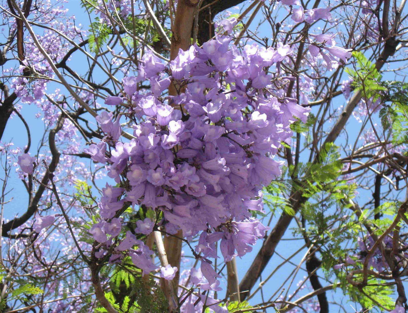 Purple Trees Closeup Of Purple Mimosa Tree Mimosa Tree Indoor Olive Tree Purple Trees