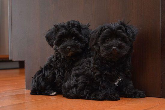 Yorkie Poo Google Search Yorkie Poodle Yorkie Poo Teacup Puppies