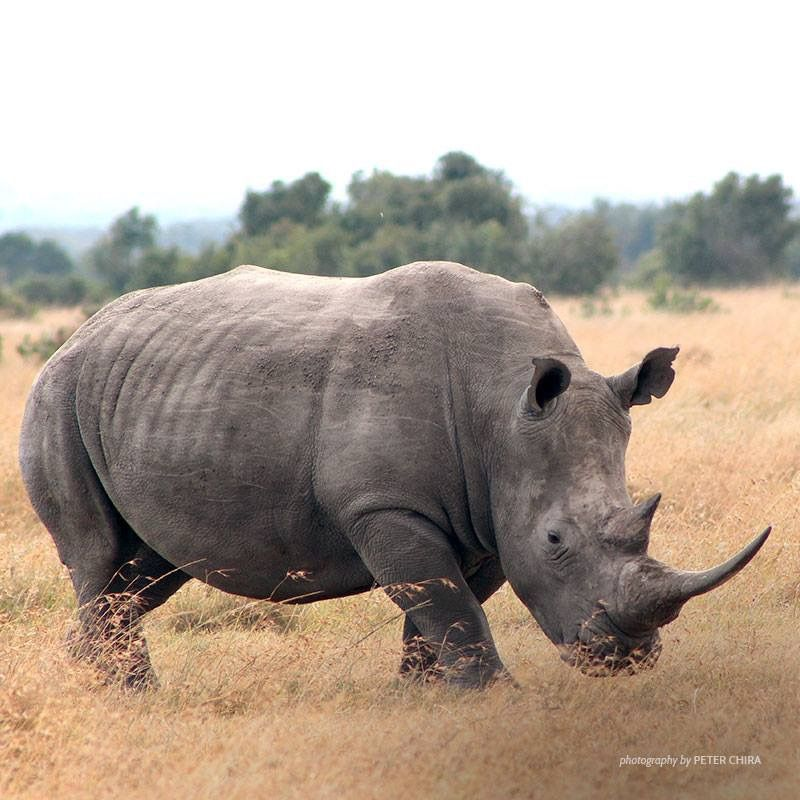 reference of a rhino