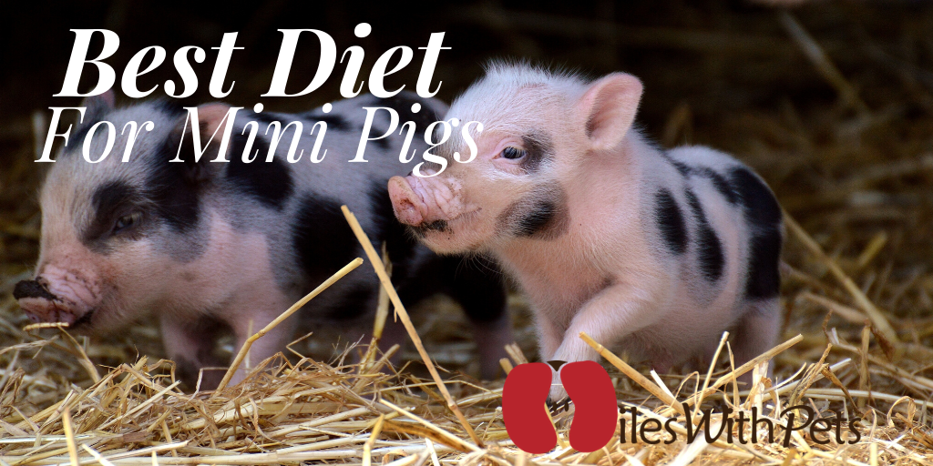 What Is The Best Diet For Mini Pigs A Detailed Guide On Mini Pigs Food Miles With Pets In 2020 Mini Pigs Pig Pig Food