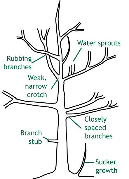 the Season for Pruning There are a number of things to consider before getting the saw and pruner ready. Tree pruning impacts trees in many ways, such as causing a risk of decay through open wounds, loss of food-producing leaves for growth, and redirection of growth by reducing competing branches.There are a number of things to consider befor...