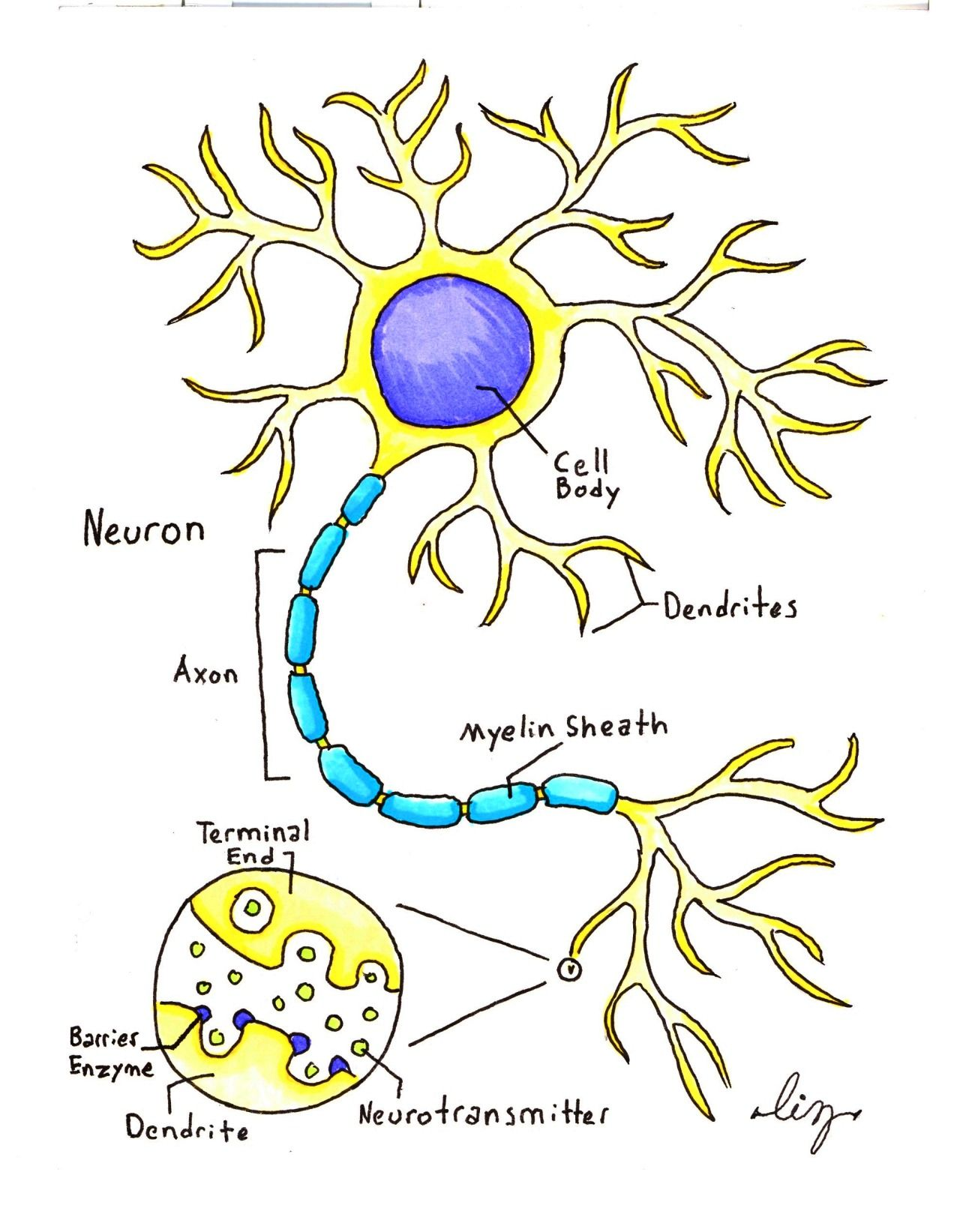 "gallusdrawseverything: ""A super-simple Neuron illustration ..."