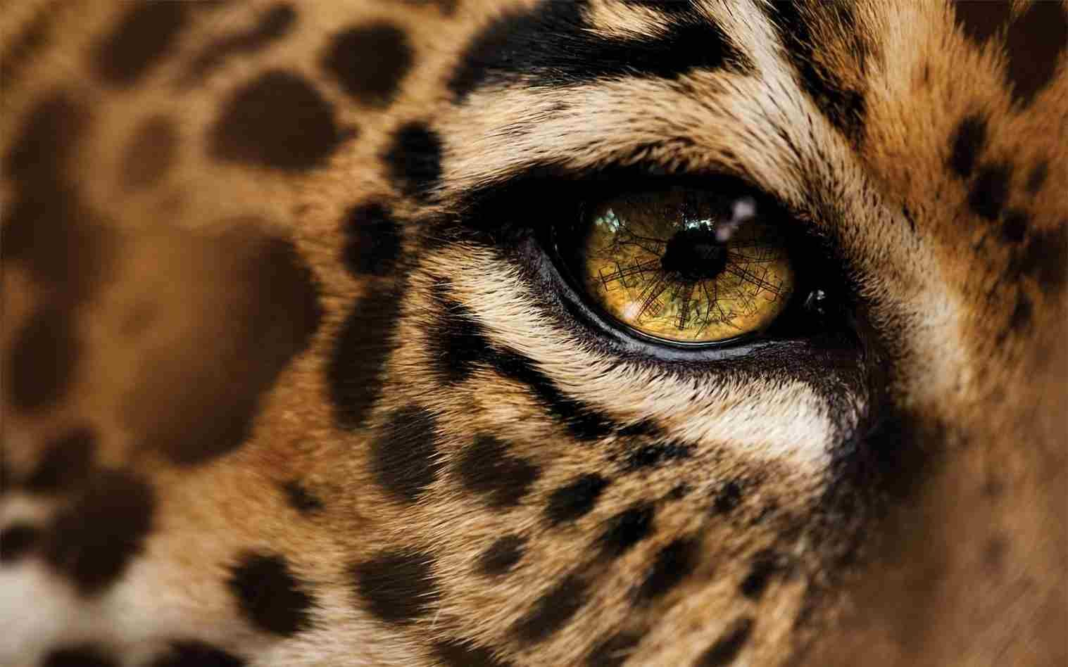 jaguar wallpaper 8150. jaguar animal hd wallpapers | jaguar animal pictures | cool wallpapers. jaguar animal 474121 . uq3c1od – imgur. spot the differences ...