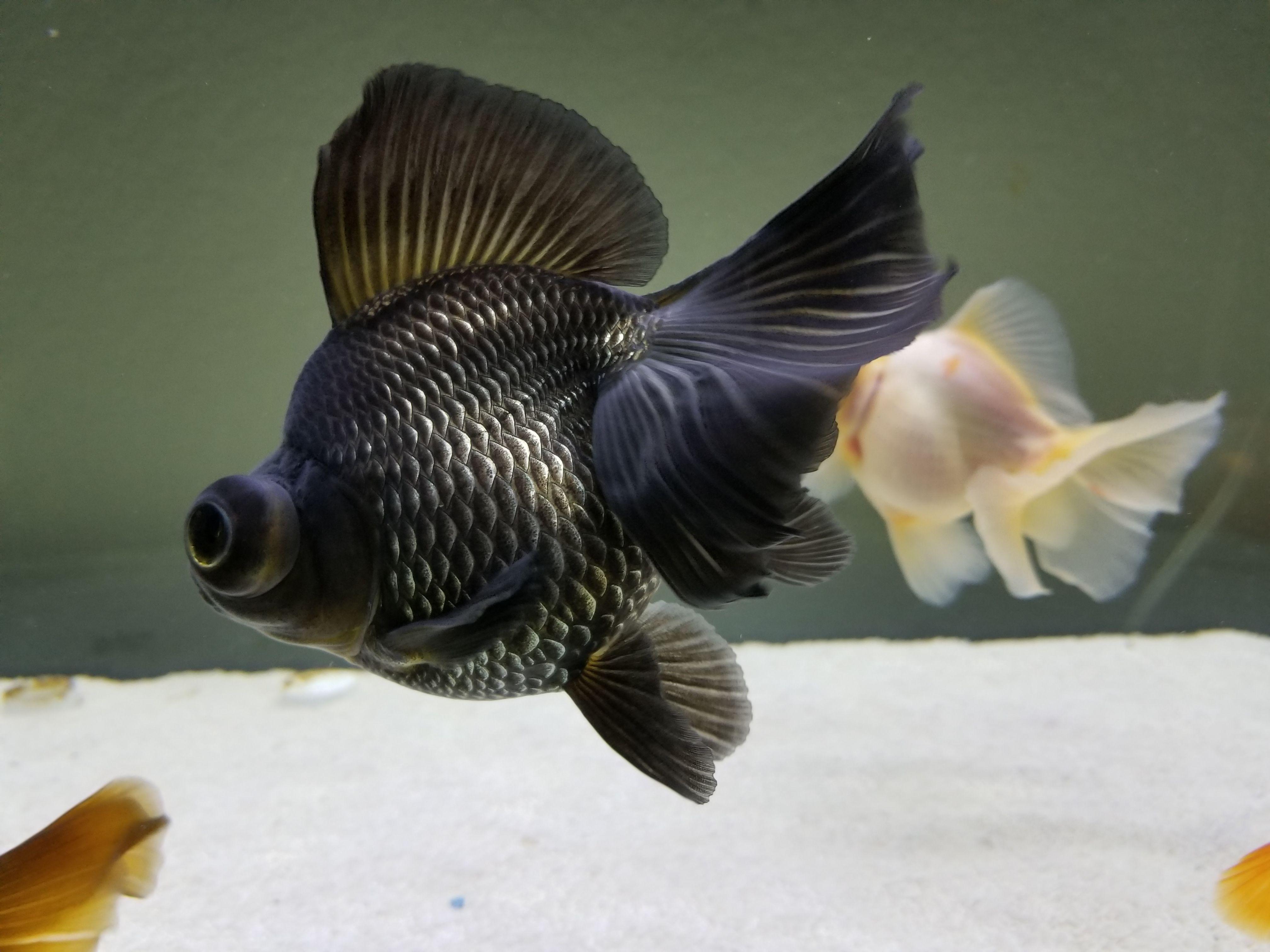 1327 best Gold fish images on Pinterest
