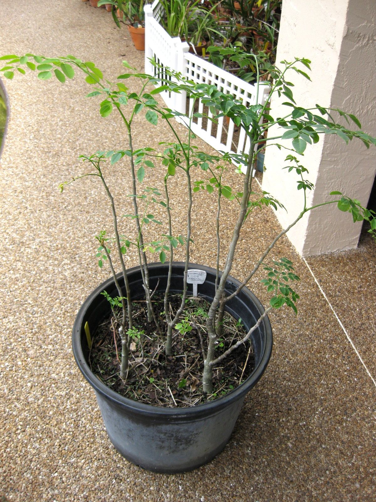 how to plant moringa A few years ago i discovered the amazing moringa oleifera tree it was quite a sight to see the tree was almost nine foot tall and growing in a 3 gal plastic nursery container a tree that large was way too big for a 10 inch diameter container the trees roots had split the pot and were totally twisted, circling and thick i usually.