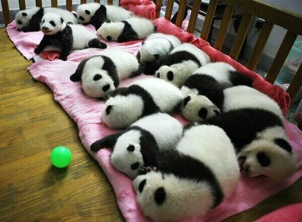 Hermosos bebes panda