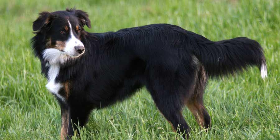 English Shepherd Picture English Shepherd Dog Breeds Cute Dogs Breeds