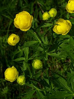 Globeflower, Something magical about this plant! Would be beautiful with pink roses. Hate Yellow, but love these beauts. Would use in a bouquet!{Niittykullero (Trollius europaeus)}