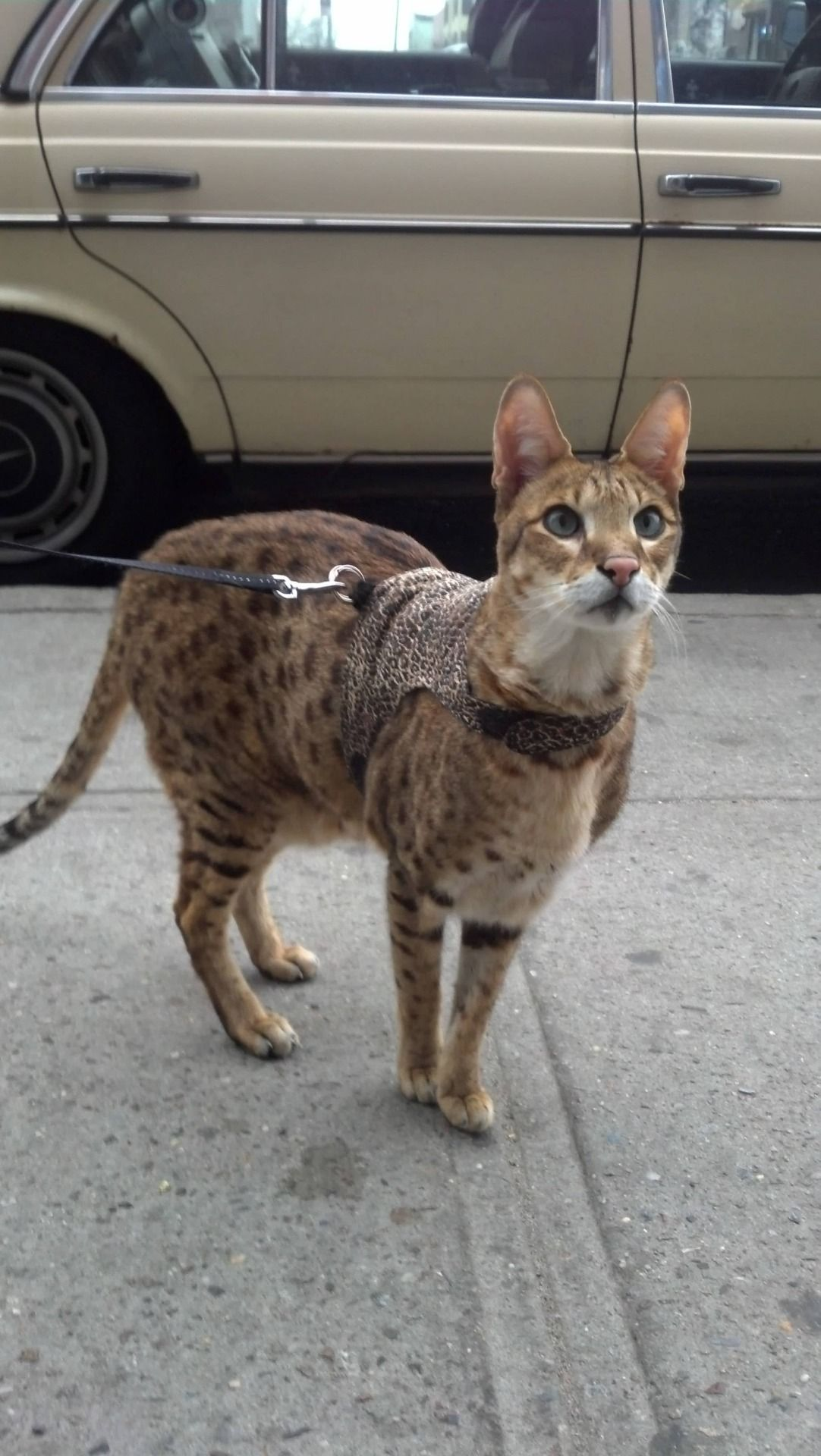 wow he looks big Cat leash, Serval cats, Pets