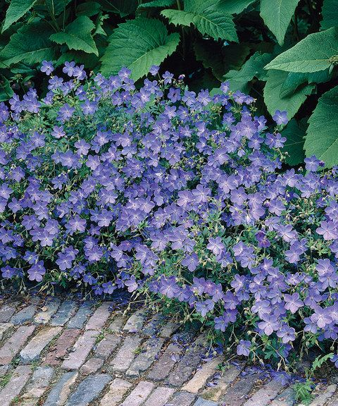 Blue fusion everblooming geranium brilliant blue flowers for Low maintenance perennial flower bed