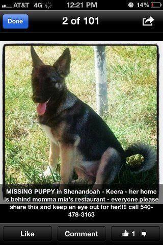 Missing German Shepherd Puppy Shenandoah Va Page County Keera A Female Elkhound Border Collie Mi German Shepherd Puppies Border Collie Mix Puppies