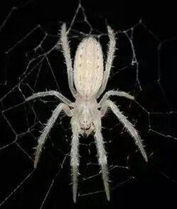 spanish spider spiders scorpions