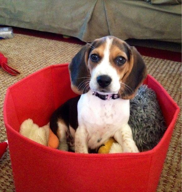 Caught My Beagle Pup Beagle Puppy Cute Beagles Super Cute Animals