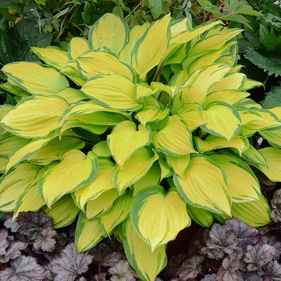Light up the shady spots of your yard with this Island Breeze Hosta